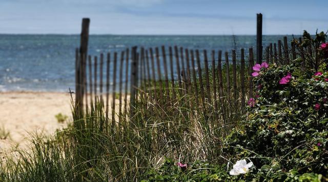 Cape Cod wild rose