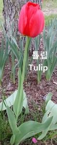 ftulip
