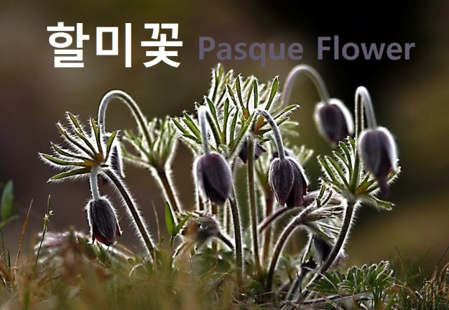 pasqueflower_할미꽃