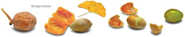 ginkgofruits